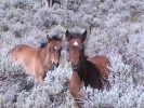 Wild Horse Mesa, young horse twins