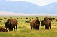 San Luis Valley, buffalo herd