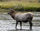 elk in stream, elk hunting